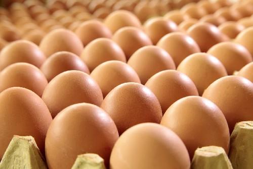 Ternak Telur
